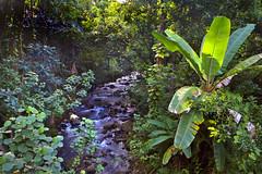 Tropical Forest with Creek, Hamakua Coast, Island of Hawaii (klauslang99) Tags: klauslang nature naturalworld hawaii tropical forest trees creek water landscape hamakua