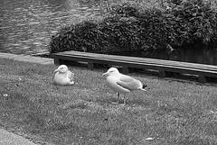 On Grass. (tony allan tony allan) Tags: bird gull park nature naturalworld m42 manualfocus helios85210mmmacrolens nikond80 legacyglass