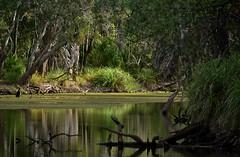 Meadowvale Nature Park [Bundaberg] (Dreaming of the Sea) Tags: 2019 meadowvale naturepark water nikond5500 trees reflections nikkor18200mm nikkor depthoffield dof deadtree bokeh bundaberg queensland australia greengrass