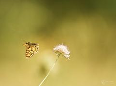 Mélitée du plantain (Eric Leroy Olympus Passion OMD & Pen) Tags: papillon lépidoptère olympus omd em1 x omdem1x em1x zuiko 300f4 300f4pro 300mmf4pro 300 f4 wildlife butterfly wwwolympuspassionfr