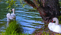 Two swans at the edge river (Jacques Rollet (Little Available)) Tags: cygne swan animal river rivière eau water nature