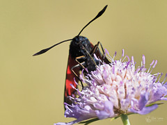 Zygène (Eric Leroy Olympus Passion OMD & Pen) Tags: papillon lépidoptère olympus omd em1 x omdem1x em1x zuiko 300f4 300f4pro 300mmf4pro 300 f4 wildlife butterfly wwwolympuspassionfr