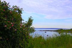 Wild roses by the seaside (annemwo) Tags: rosehips flowers wildroses seaside sea water coast summer june tønsberg norway nature