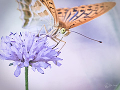Tabac d'Espagne (Eric Leroy Olympus Passion OMD & Pen) Tags: papillon lépidoptère olympus omd em1 x omdem1x em1x zuiko 300f4 300f4pro 300mmf4pro 300 f4 wildlife butterfly wwwolympuspassionfr