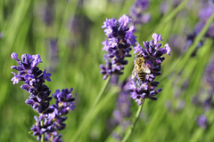 Lavender (Manfred_H.) Tags: nature plants pflanzen blütenpflanzen floweringplants lavender lavendel lavande insects bees supportinsects helpbees
