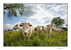Les Charolaises (Rémi Marchand) Tags: charolais vache élevage prairie boutondor boeuf ruralité canoneos5dmarkiii bovin yonne pré bourgogne
