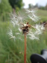 dandelion (jecadim) Tags: bugarskabosilegrad dandelion