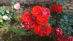 petali e foglie (archgionni) Tags: natura nature colori colors foglie verde fiori flowers rose roses petali petals rosso red