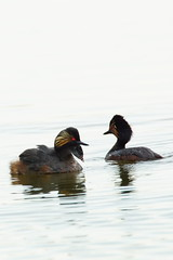 DSC05036 - Black necked Grebe + Little Humbug! (steve R J) Tags: black necked grebe little humbug bowers marsh pitsea essex birds british