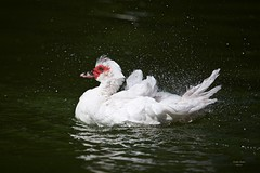 Pato (Carlos Santos - Alapraia) Tags: ngc flickrcentral ourplanet animalplanet canon nature natureza wonderfulworld highqualityanimals unlimitedphotos fantasticnature birdwatcher ave bird pássaro pato patomudo duck