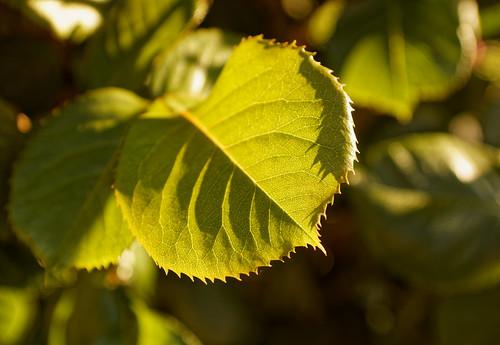 Feuille de printemps - Leave of spring