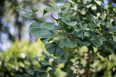 ginkgo (Frau Koriander) Tags: ginkgo ginkgobaum tree blätter leaf leaves blatt ginkgoblatt ginkgobiloba lebendesfossil livingfossil baum garten garden nikond750 helios44m6 helios bokeh dof depthoffield m42 manual