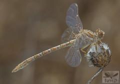 Faded Pincertail - Onychogomphus costae (Selys, 1885) ( BlezSP) Tags: faded pincertail onychogomphus costae madrid spain odonata libelula gomphidae