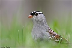 White-crowned Sparrow Close-up. (Daniel Cadieux) Tags: sparrow whitecrownedsparrow closeup portrait ottawa