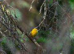 The Grub Hunter (American Yellow Warbler) (TheNovaScotian1991) Tags: americanyellowwarbler bird small beautiful outdoor tree nikond7100 nikkor55300mm alberta stpaulcounty softwoods treebranch canada sirwinstonchurchillprovincialpark borealforest