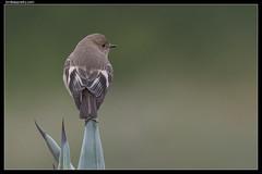 Flame Robin: Female (birdsaspoetry) Tags: flamerobin petroicaphoenicea pointcook pointcookcoastalpark