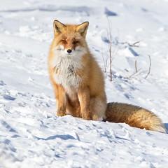 IMG_65692019_02_14 Red Fox, Japan EOS 5D Mark IV (Sugar Beet Pete) Tags: redfox hokkaido japan nature animal fox red snow