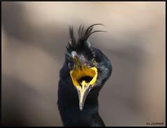 cormoran huppé (pat lechner) Tags: cormoran huppé cormoranhuppé norvège varanger hornøya vardø