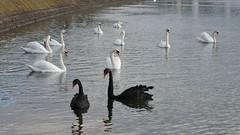 Cygnes noirs à Lyon (Sam Photos with Sony native jpeg) Tags: cygnes lyon swan swans cygne river france couple rhône quai black noir noirs