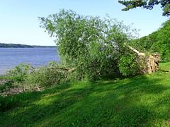Un géant s'est écroulé - A giant has fallen (J. Trempe 3,960 K hits - Merci-Thanks) Tags: stefoy quebec canada arbre tree fleuve river stlaurent stlawrence