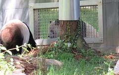 Mei Xiang & Tian Tian at the howdy window (heights.18145) Tags: visitthezoo2109 nationalzoo smithsoniansnationalzoo washingtondc beibei meixiang tiantian redd moke pandas orangutans gorilla animals