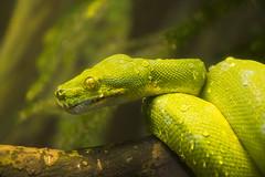 Emerald Tree Boa (Rackelh) Tags: reptile green snake animal closeup nature zoo toronto ontario canada