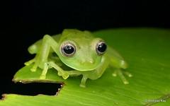 Glass Frog, Centrolenidae (Ecuador Megadiverso) Tags: amphibian andreaskay anura centrolenidae ecuador frog glassfrog sumakkawsayinsitu
