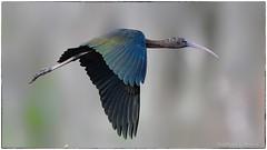 Glossy Ibis (RKop) Tags: ibis circlebpreserve florida raphaelkopanphotography d500 600mmf4evr 14xtciii