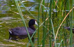 American Coot (TheNovaScotian1991) Tags: americancoot bird duck beautiful bonnyville alberta canada marsh jessielake nikond7100 nikkor55300mmf4556gedvr water ripples grass