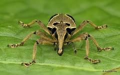 Weevil, Epistrophus sp.? Curculionidae (Ecuador Megadiverso) Tags: andreaskay beetle coleoptera curculionidae ecuador epistrophussp focusstack idbyborisbüche molytinae weevil