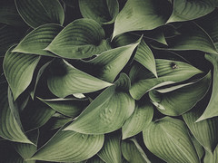 Who? (poota123) Tags: 2019 june plants bee gadfly insects leaves plantainlily