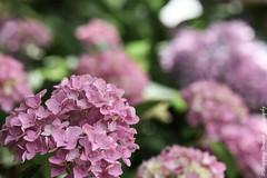 Pink Hydrangea (Snapping Beauty) Tags: publicpark flowers floral abstract background selectivefocus nopeople seasons summer peace virginia colors pink photography hydrangea outdoors petal bloom horizontal places flower