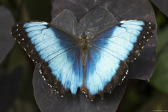 Butterfly 2019-64 (michaelramsdell1967) Tags: butterfly butterflies nature macro animal animals insect insects blue purple beauty beautiful pretty lovely detail delicate upclose closeup fragile vivid vibrant wings plant garden bugs bug colorful spring morpho zen