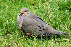 Mourning Dove (Anne Ahearne) Tags: wild bird animal nature wildlife closeup birdwatching mourningdove grass