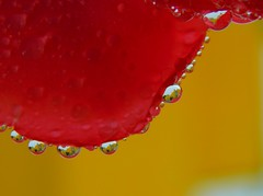 Embroidery of Nature (cami.carvalho) Tags: embroidery nature embroiderynature bordadosdanatureza gotas drops gotasdeágua waterdrop rose rosa rain reflections reflexo água