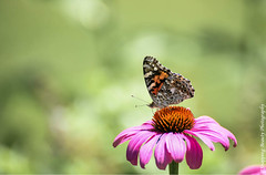 Painted Lady Butterfly (Snapping Beauty) Tags: publicpark flowers purple floral abstract insects background selectivefocus nopeople seasons summer peace daisy virginia butterfly pink photography colors outdoors petal bloom horizontal places flower