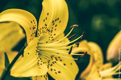 Yellow Lily (Snapping Beauty) Tags: publicpark flowers floral abstract background selectivefocus nopeople seasons summer peace virginia lily colors photography yellow outdoors petal bloom horizontal places flower