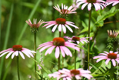 Coneflowers (Snapping Beauty) Tags: publicpark flowers purple floral abstract daisy background selectivefocus nopeople seasons summer peace virginia pink photography colors outdoors petal bloom horizontal places flower