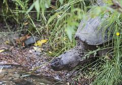 Snapping Turtle Approaches Creek (fotofrysk) Tags: 20190624141 park ontario canada woodland turtle reptile amphibian thornhill commonsnappingturtle germanmillscreek coldbloodedanimal nikond500 germanmillssettlerspark cityofmarkham chelidraserpentina afsnikkor200500mm56eed