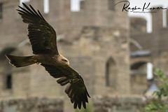 Wildlife in England (rvk82) Tags: 2018 birds england june june2018 nikkor200500mm nikon nikond850 rvk rvkphotography raghukumar raghukumarphotography warwick warwickcastle wildlife rvkonlinecom rvkphotographycom rvkphotographynet unitedkingdom