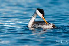 Preening Clark's Grebe (Let there be light (A.J. McCullough)) Tags: grebe clarksgrebe preening oregon birds upperklamathlake putnamspoint featheryfriday