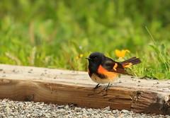 Paruline flamboyante, American Redstart (Serge Rivard) Tags: oiseau parulineflamboyante americanredstart setophagaruticilla