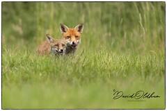 Vixen with fox cub (David Oldham photography) Tags: fox foxes redfox fuchs renard vixen cub
