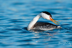 Preening Clark's Grebe (2 more pics in comment 1) (Let there be light (A.J. McCullough)) Tags: grebe clarksgrebe preening oregon birds upperklamathlake putnamspoint featheryfriday
