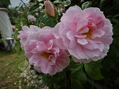 Schönheiten in Rosa (renate117) Tags: rosen rosa blumen