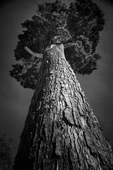 And I rise like a bird (.KiLTЯo.) Tags: kiltro cl chile magallanes tierradelfuego patagonia alerce larch hackmatack tree nature g