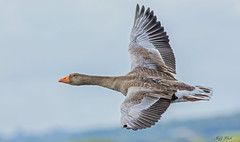 DSC0524  Greylag Goose... (Jeff Lack Wildlife&Nature) Tags: greylaggoose greylags goose geese wildfowl birds avian animal animals wildlife wildbirds wetlands waterbirds waterways wildlifephotography jefflackphotography estuaries estuary scrapes lakes ponds parklands farmland fields countryside coastalbirds coast nature
