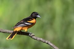 CA3I9069-Baltimore Oriole (tfells) Tags: baltimoreoriole bird safeharbor pennsylvania nature wildlife icterusgalbula