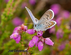 Silver studded blue (joemd69) Tags: nature animals insect wildlife macro silverstuddedblue