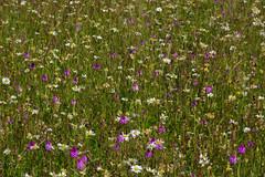 One of natures wonders. Wild flower Meadows near Faversham full of Pyramidal Orchids. (favmark1) Tags: faversham meadows kent orchids pyramidalorchids anacamptispyramidalis kentorchids britishorchids wildorchids